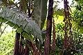 Musa zebrina 6zz.jpg