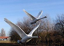 Mute.swans.flying.arp.750pix.jpg