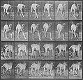 Muybridge, Eadweard - Dread, trottend (Zeno Fotografie).jpg