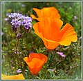 My State Flower (147926003).jpeg