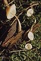 Mycena galericulata taken off trunk, Llanwonno (31022264175).jpg