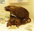 Myocastor coypus-Musée zoologique de Strasbourg.jpg