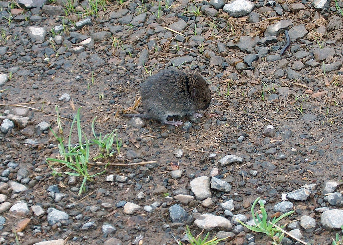 Western Red Backed Vole Wikipedia