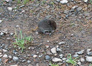 Western red-backed vole species of mammal