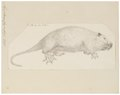 Myopotamus coypus - 1700-1880 - Print - Iconographia Zoologica - Special Collections University of Amsterdam - UBA01 IZ20600131.tif