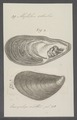 Mytilus edulis - - Print - Iconographia Zoologica - Special Collections University of Amsterdam - UBAINV0274 076 01 0028.tif