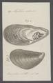 Mytilus edulis - - Print - Iconographia Zoologica - Special Collections University of Amsterdam - UBAINV0274 076 01 0028.tif