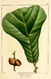 NAS-020f Quercus marilandica.png