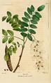 NAS-076 Robinia pseudoacacia.png