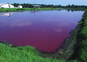 Environmental impact of pig farming - Wikipedia