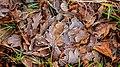 Nationaal Park Weerribben-Wieden. Locatie Weerribben. Rijp op eikenbladeren.JPG