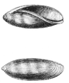 Natural History - Mollusca - Cowry young.png