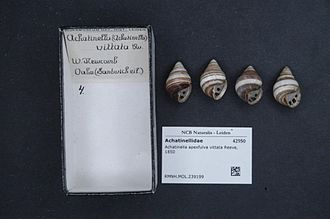 Achatinella apexfulva - Achatinella apexfulva shells.