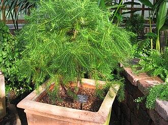 Callitris pancheri - Image: Neocallitropsis pancheri Atlanta Botanical Garden