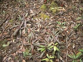 Nepenthes albomarginata purple.jpg