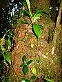 Nepenthes flava1.jpg