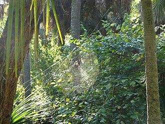 Golden silk orb-weaver - N. clavipes web, Merritt Island National Wildlife Refuge, Florida