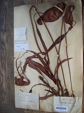 Nepenthes thorelii - The female isotype deposited at the Paris herbarium