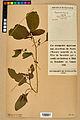 Neuchâtel Herbarium - Impatiens noli-tangere - NEU000019954.jpg