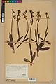 Neuchâtel Herbarium - Ophrys sphegodes - NEU000047894.jpg