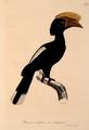 Neue Wirbelthiere zu der Fauna von Abyssinien gehörig (1835) Bycanistes brevis.png