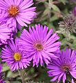 New England Aster 'Purple Dome' (Symphyotrichum novae-angliae) (5651136965).jpg