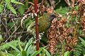New Zealand Bellbird - New Zealand (25437869898).jpg