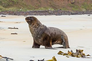 New Zealand sea lion species of mammal