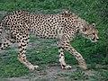 Ngorongoro (29) (14125580456).jpg
