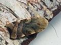 Noctua fimbriata - Broad-bordered yellow underwing - Земляная совка каёмчатая (43889431321).jpg