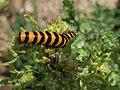 Noordwijk - Sint-jacobsvlinder (Tyria jacobaeae).jpg