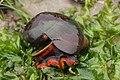 Norris's Top Snail - Norrisia norrisii (41652997140).jpg