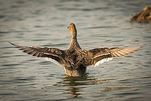 Northern pintail - Northern pintail female wingspan