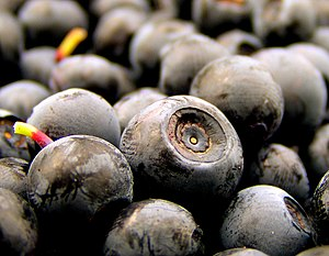 Blueberries collected in Norway.