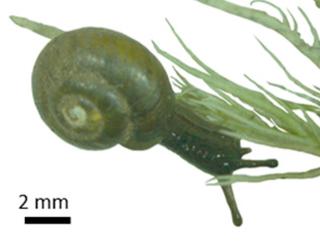 <i>Notodiscus hookeri</i> species of mollusc