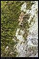 Notodontidae (9722261287).jpg