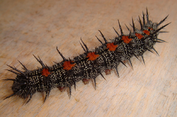 Nymphalis-antiopa-caterpillar.png
