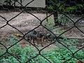 O cachorro-do-mato, guaraxaim ou lobinho (Cerdocyon thous) é um mamífero da família dos canídeos, amplamente distribuído pela América do Sul. Vivem solitários ou em pequenos grupos, sendo muito arisc - panoramio.jpg