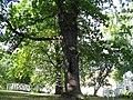 Oak-Trondheim1.jpg