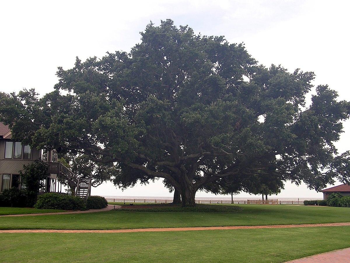 Quercus virginiana - Wikispecies