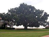 Oak tree-SL
