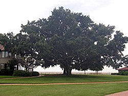 Oak tree-SL.jpg