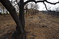 Oak trees that where severely damaged in a wildfire that occurred three weeks earlier. (25085328106).jpg