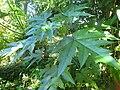 Obetia ficilifolia.jpg