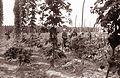 Obiranje hmelja v Savinjski dolini 1961 (9).jpg