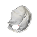 Occipital bone Opisthion05.png