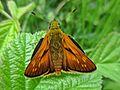 Ochlodes sylvanus (Hesperiidae) (Large Skipper) - (imago), Elst (Gld), the Netherlands.jpg