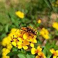 Ochraethes sommeri (Cerambycidae).jpg
