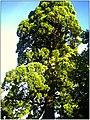 October Giant Redwood Neuershausen - panoramio.jpg