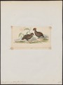 Odontophorus guttatus - 1820-1863 - Print - Iconographia Zoologica - Special Collections University of Amsterdam - UBA01 IZ17100197.tif